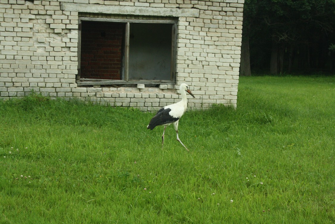 Storks and delapidated buildings both are a common sight in Estonia.