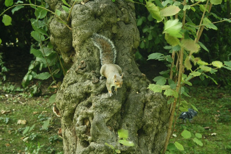 Squirrels are as present and as annoying as pigeons in many English towns.