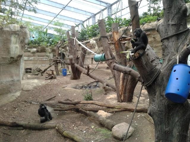 Die Stars der Tropenhalle sind die Gorillas (und die Orang-Utans). Insgesamt bevölkern 80 Tierarten das Darwineum.