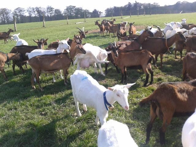 Für ländliche Idylle sorgen in Sophienhof nicht nur Wald und Wiesen, sondern auch die stattliche Ziegenherde.