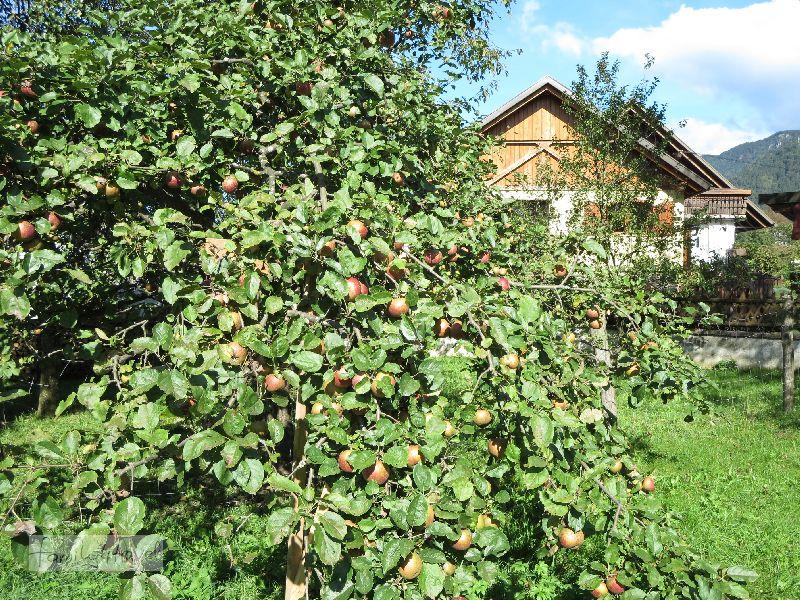 Auch ganz typisch für Slowenien: Apfelbäume, jede Menge Apfelbäume!