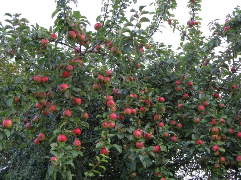 bayern-apfelbaum