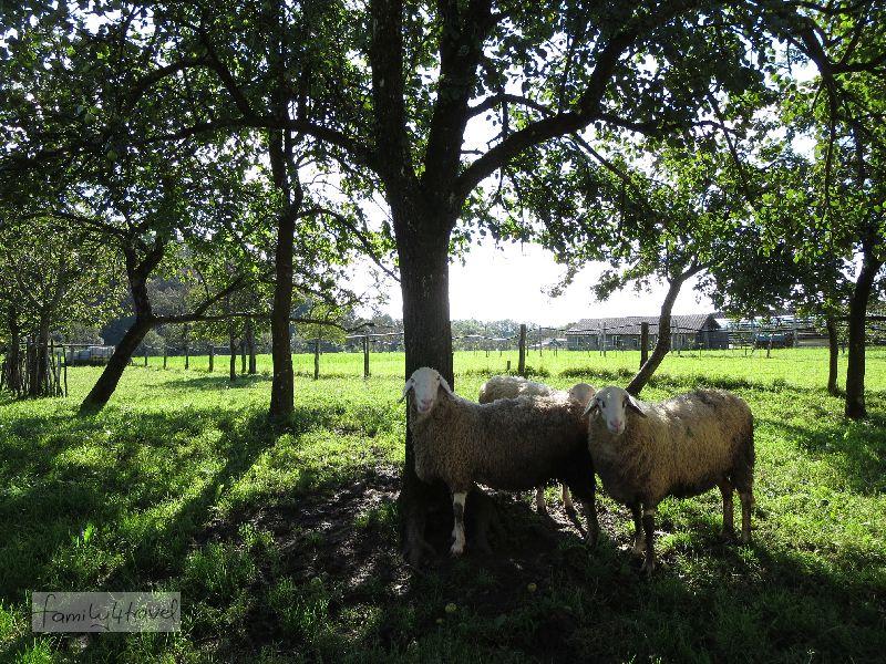 Wir wohnen ländlich: Vor dem Fenster blöken die Schafe.