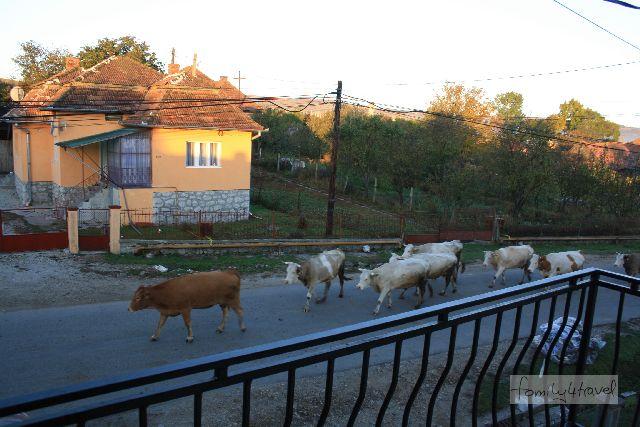 rumänien dorf kühe