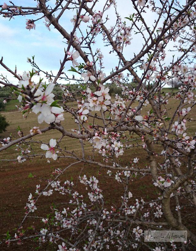 Mandelblüte auf Kassandra, Chalkidiki.