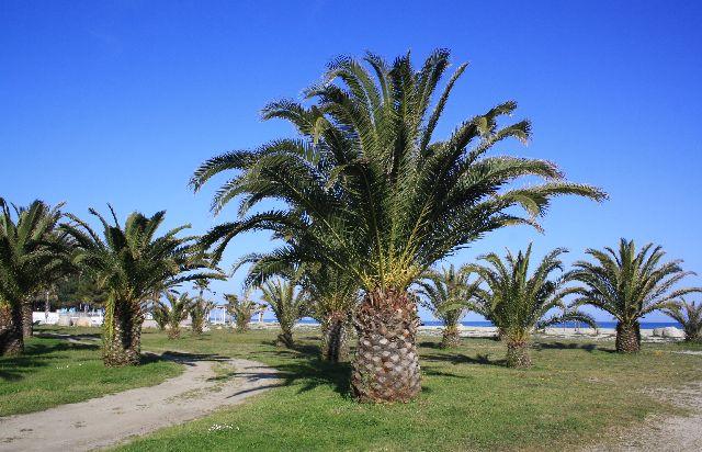 Urlaub unter Palmen geht auch auf Korsika. Und von unserem Hüttchen aus waren es keine 100 Meter zum Strand. Campingplatz Marina d'Erba Rossa, Korsika.