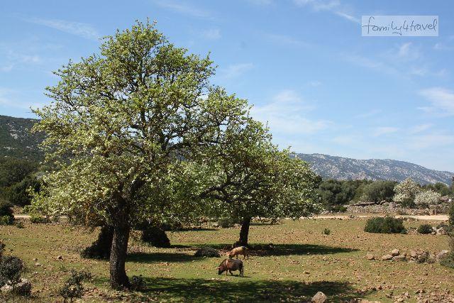 Grasende Schweine?! Auf beiden Inseln keine Seltenheit (diese hier strolchen im Nordosten Sardiniens herum).