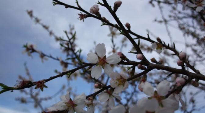 Frühling: Mandelblüte in Griechenland