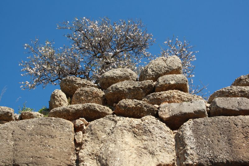 Mandelbaum an antiker Zyklopenmauer, Mykene.