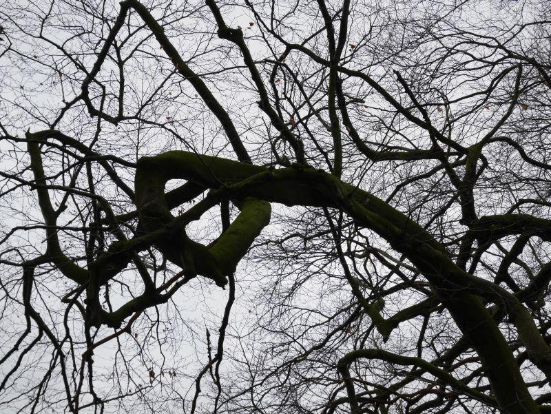Kurios: Die Äste der Süntelbuche wachsen im Zickzack und manchmal sogar im Kreis.