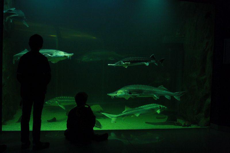 Störe, Aquarium Tulcea, Donaudelta, Rumänien