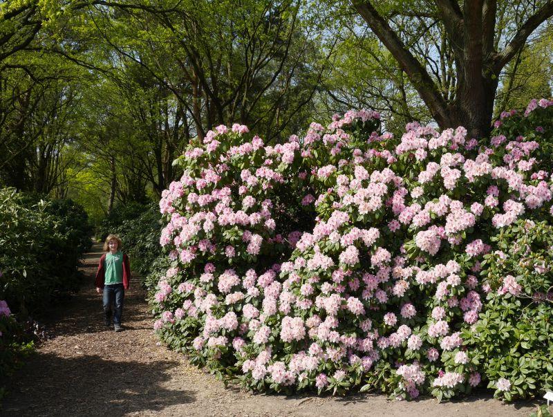 Rhododentron im Park der Gärten, Bad Zwischenahn.