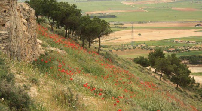 Momentaufnahme: Die Mohnblumen der Hochebene von La Mancha