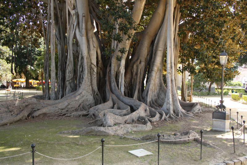 Feigenbäume, Giardino Garibaldi, Park, Palermo, Sizilien