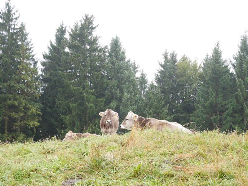 Allgäu mit Kindern, Kühe, Roßhaupten mit Königscard