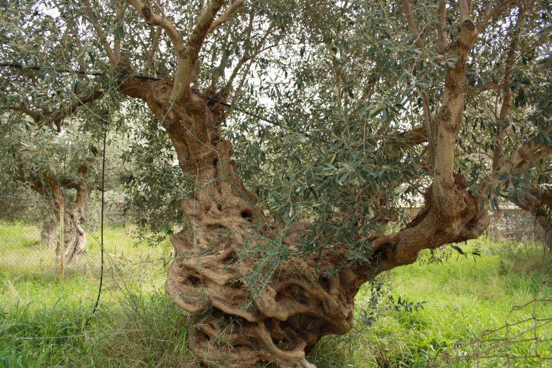 Ein uralter Olivenbaum in Sparta.
