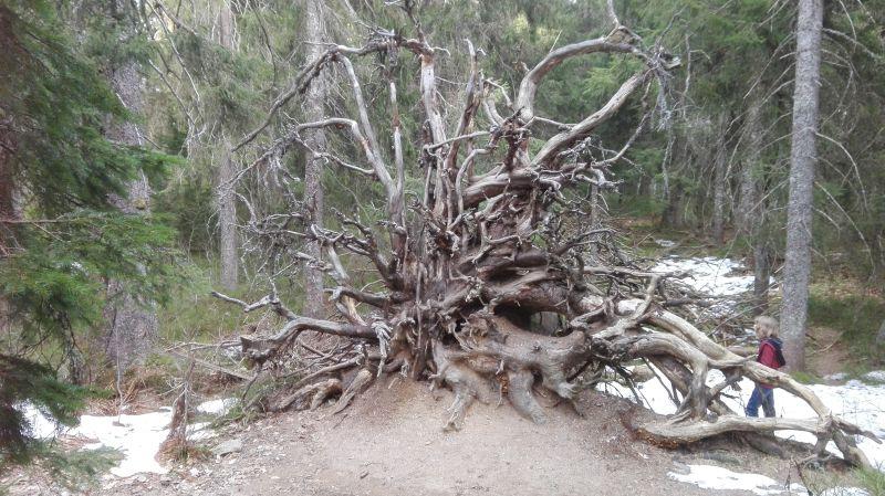 Familienurlaub im Schwarzwald, Feldberger Hof, Wandern mit Kindern, Wichtelpfad Wurzel