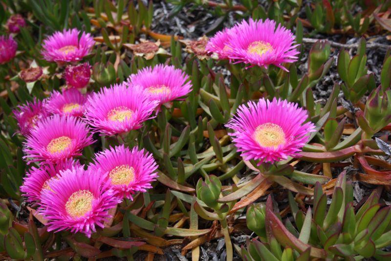 Mittagsblume, pinke Blume auf Sardinien und Korsika am Strand