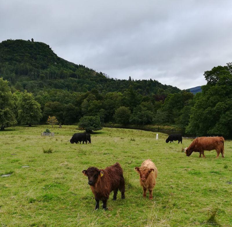 Hochlandrinder bei Inveraray Castle, Schottland