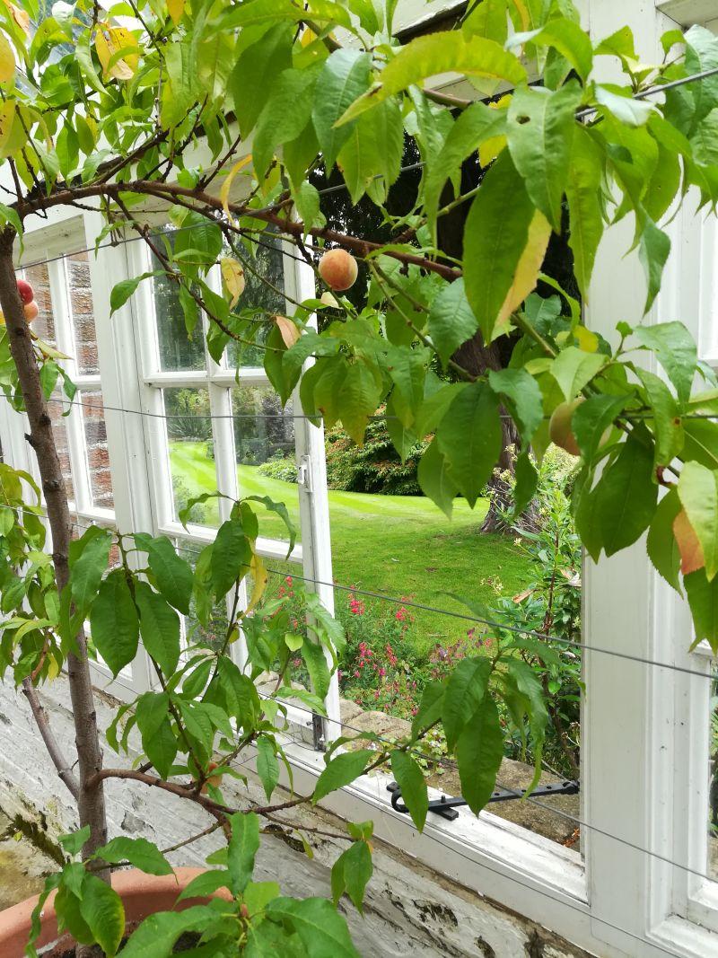 Inveresk Lodge Garden, Musselburgh, NTS, Pfirsichbaum