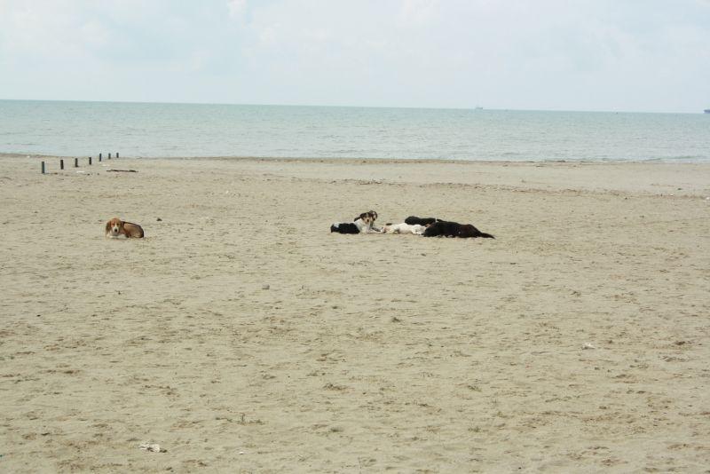 Albanische Straßenhunde am Strand in Durres