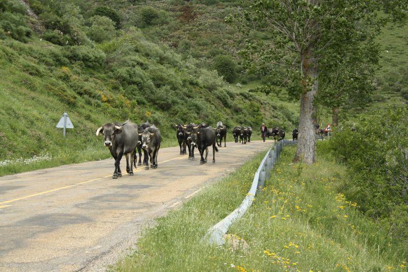 Nordspanien Kühe auf der Straße