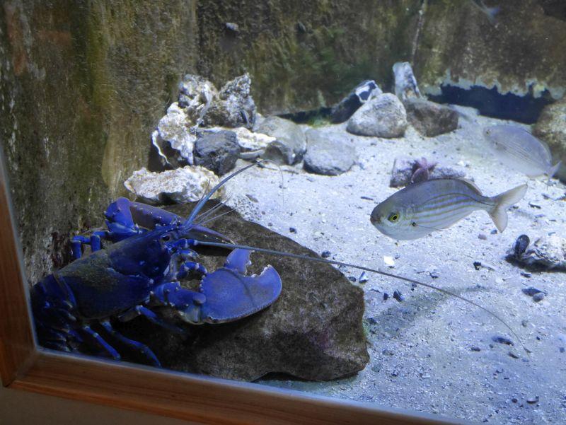 Borkum Sehenswürdigkeiten, Nordsee-Aquarium, Hummer
