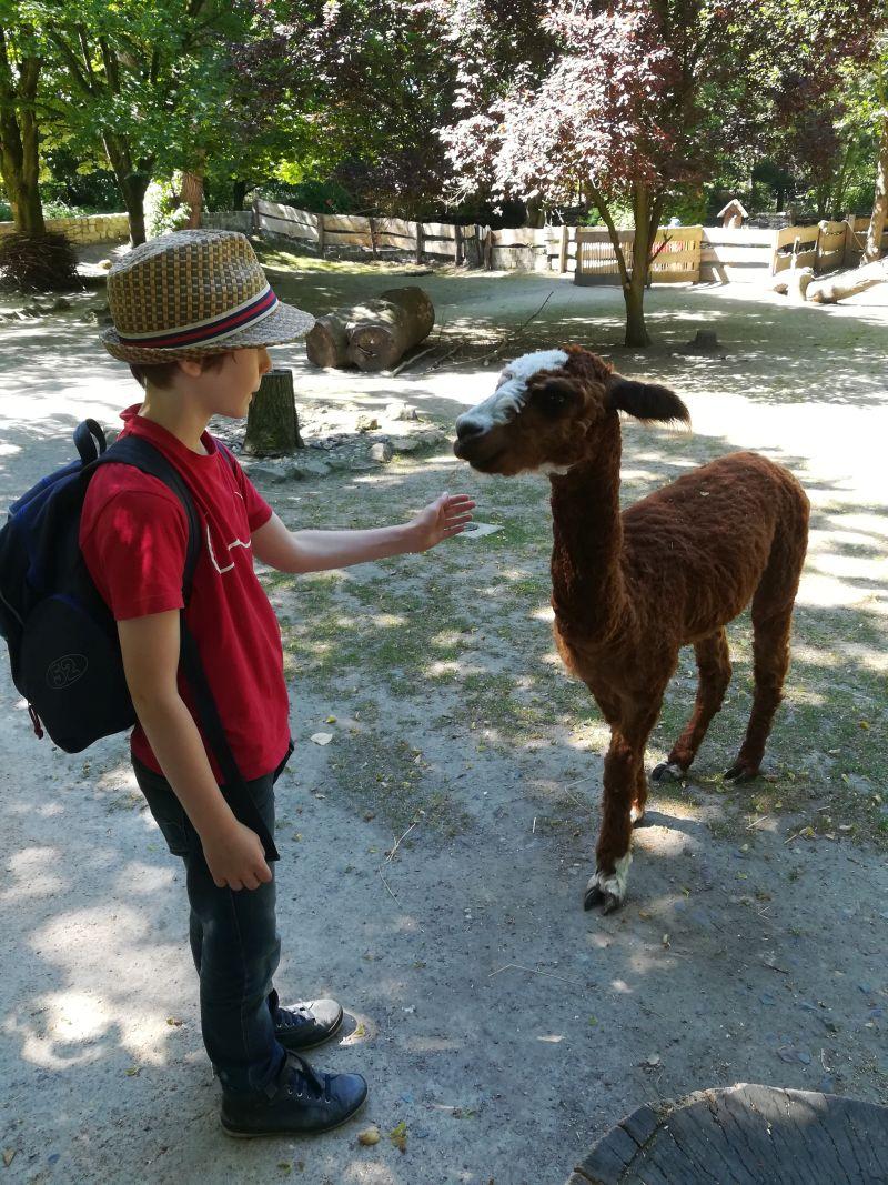 Tierpark Hamm, Alpakas