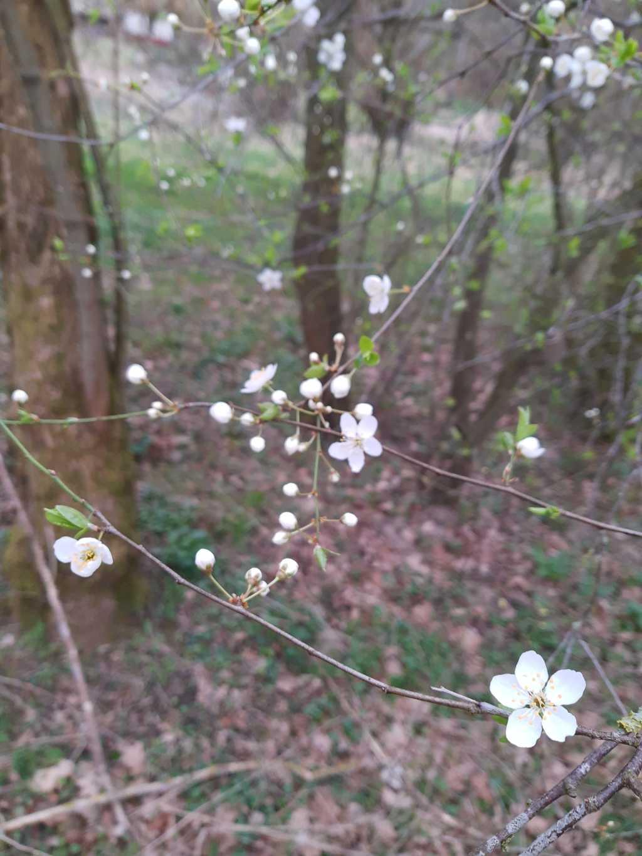 obstbaumblüten