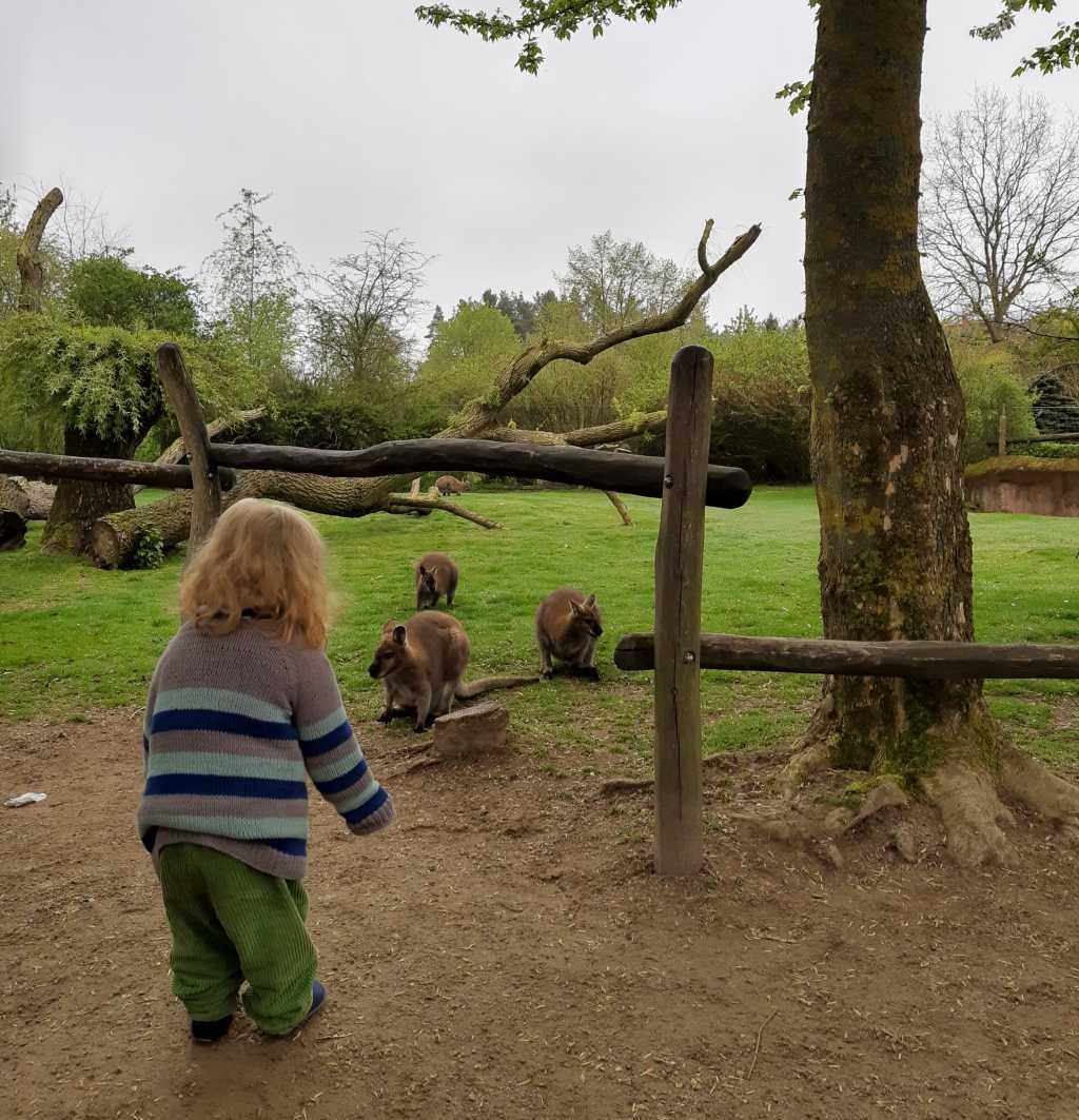 vogelpark marlow kängurus